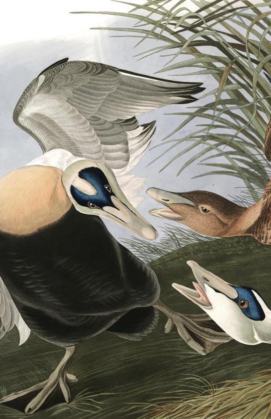 plate-246-eider-duck-final